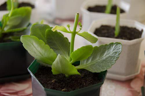 Каланхоэ каландива: ботаническое описание и правила ухода в домашних условиях