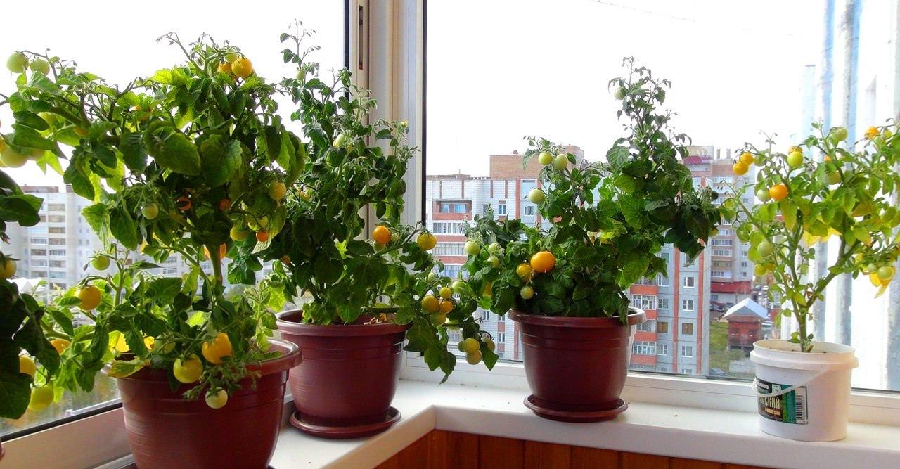 Томаты на балконе: выращивание декоративных и среднерослых с.