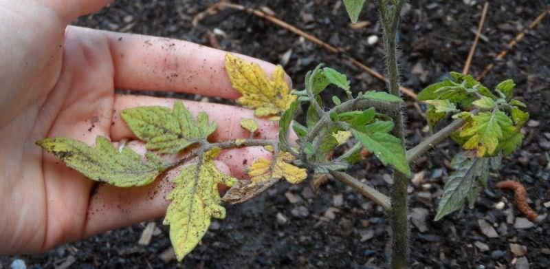 Почему опадают нижние листья у рассады помидоров: причины и способы лечения