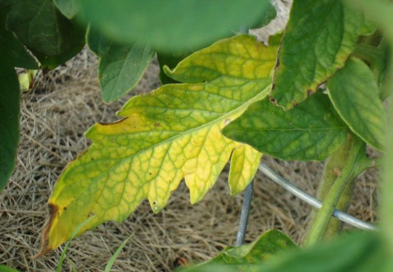 Причины опадания нижних листьев у рассады помидоров