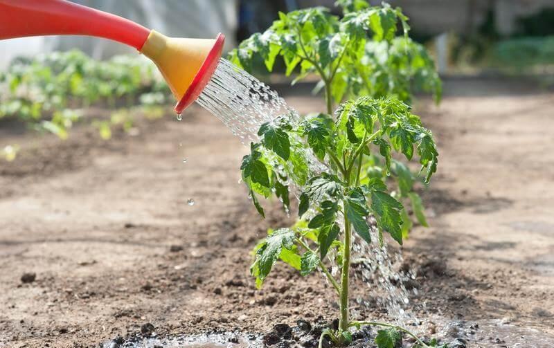 Необходимая частота полива помидоров в открытом грунте