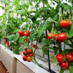 Можно ли вырастить помидоры зимой в квартире
