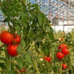 Выращивание томатов в теплице зимой: сорта, грунт, освещение