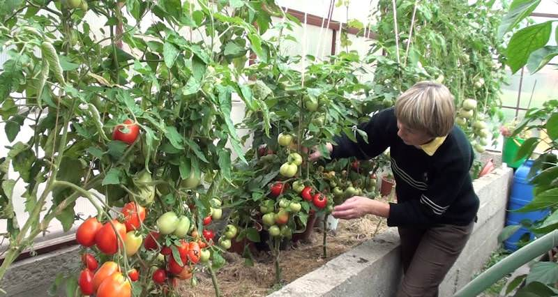 Тонкости выращивания помидоров в теплице зимой