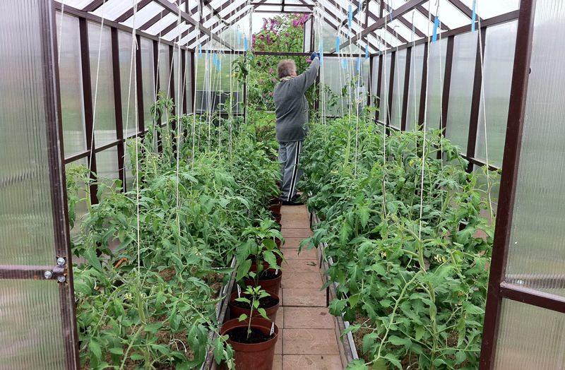 актера как правильно разместить помидоры в теплице фото гастролей филькенштейн лично