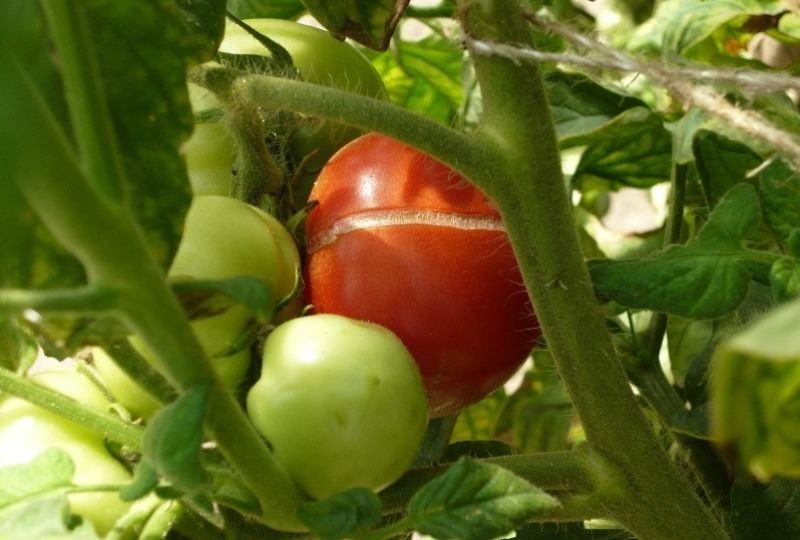 Почему плоды помидоров трескаются