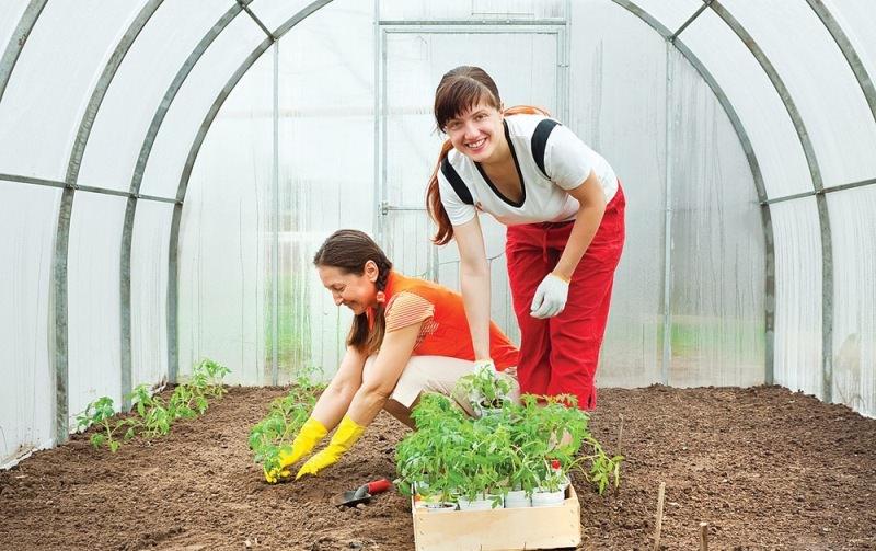 Когда можно высаживать помидоры в теплицу: сроки и советы