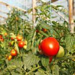 Индетерминантные и детерминантные помидоры описание отличия сорта