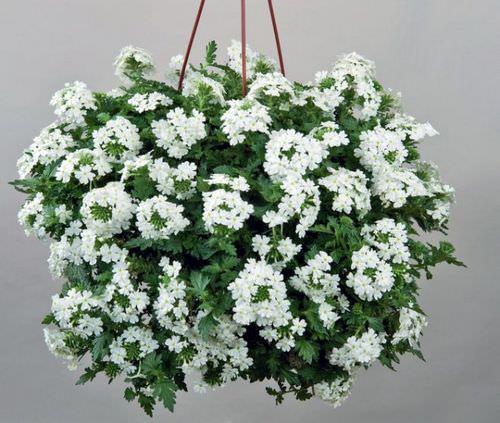 Лучшие ампельные растения для посадки в кашпо