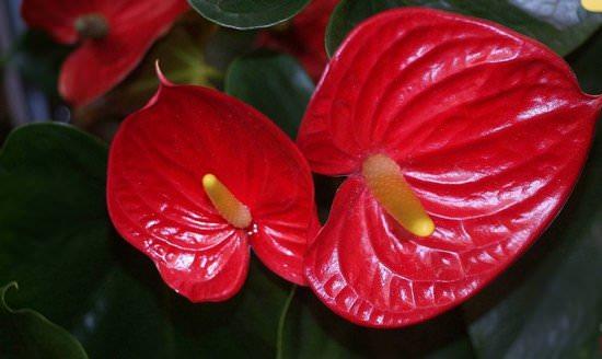 Антуриум Андре: выращиваем тропический цветок у себя дома