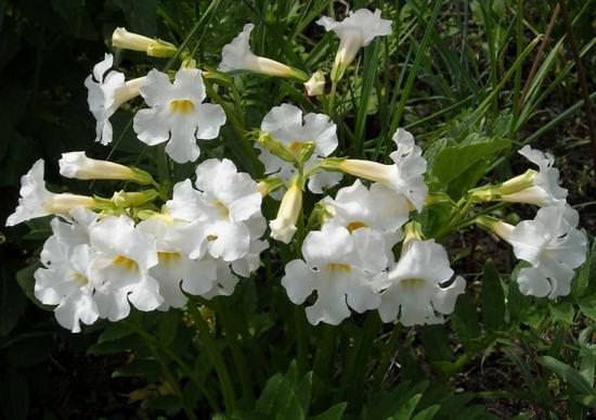 Инкарвиллея или садовая глоксиния: посадка и выращивание, рекомендации по уходу