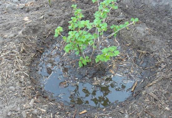 Особенности выращивания крыжовника в открытом грунте