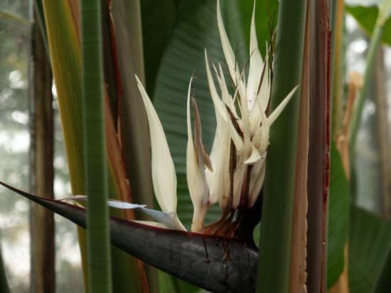 Стрелиция: секреты выращивания африканской райской птицы