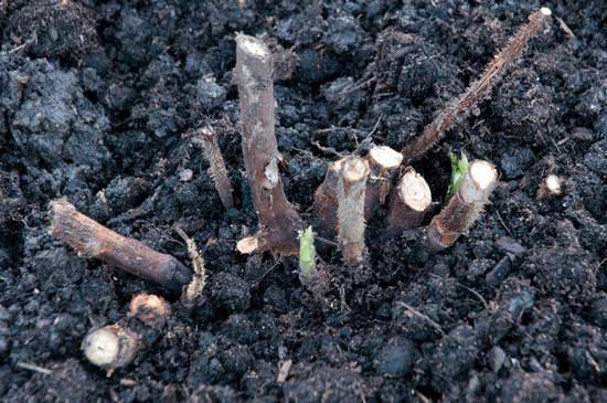 Технология и секреты выращивания малины