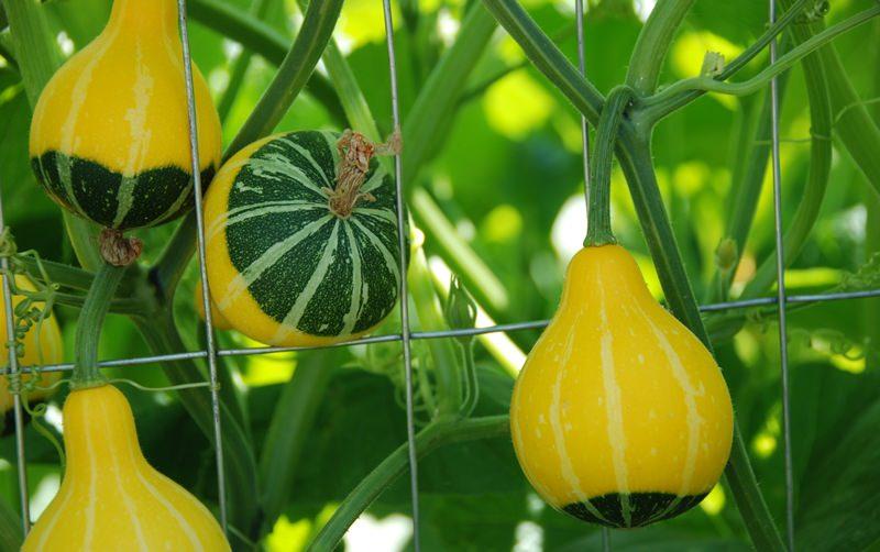 Яркая и необычная декоративная тыква: в саду и на балконе