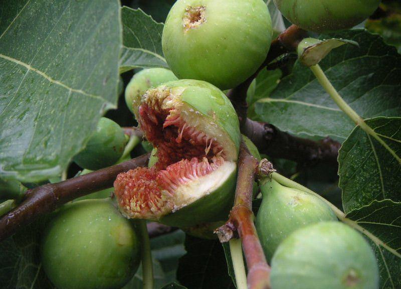 Особенности выращивания инжира в домашних условиях