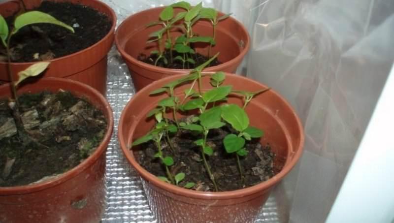 Тонкости выращивания инжира в домашних условиях