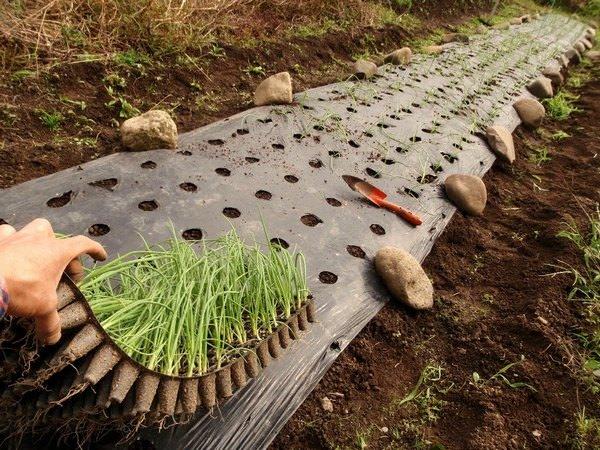Когда сажать лук на рассаду в 2017 году: рекомендации опытных огородников