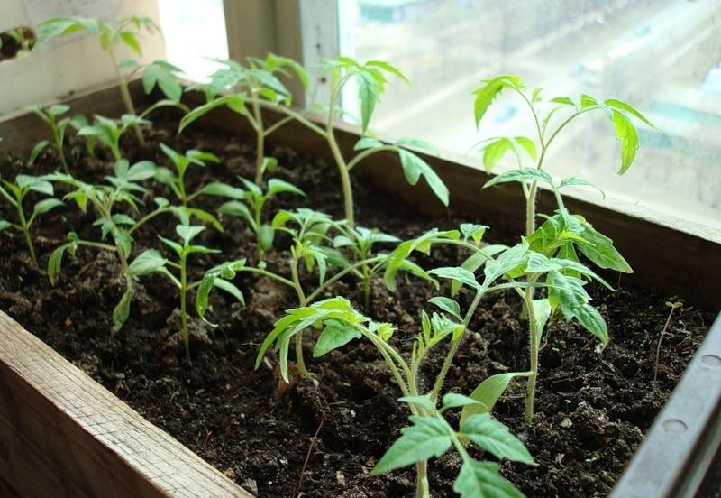 Как вырастить помидоры: мелкий лист и методы борьбы с заболеванием