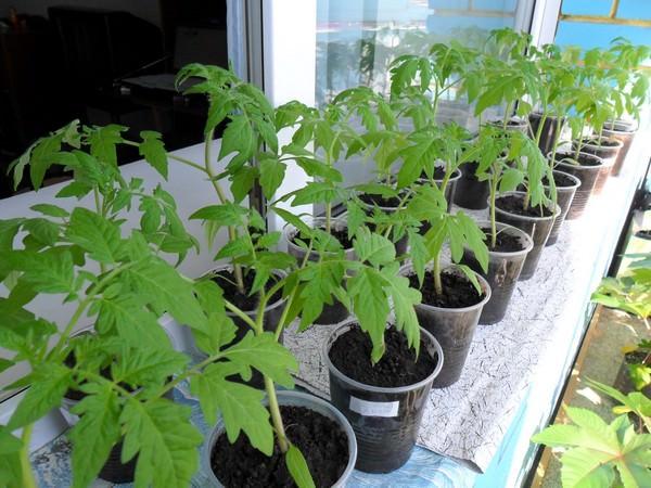 Когда сажать помидоры на рассаду в 2018 году
