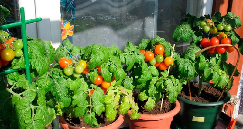 Выращивание помидоров черри на балконе пошагово.