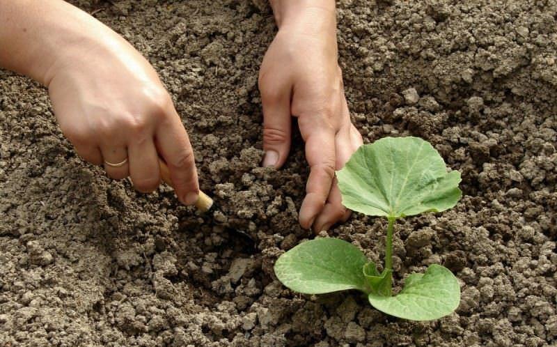 Особенности выращивания сорта тыквы Улыбка