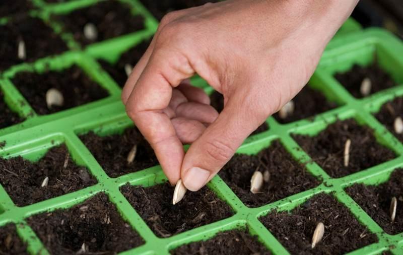 Бахчевая культура тыква: посадка и уход в открытом грунте