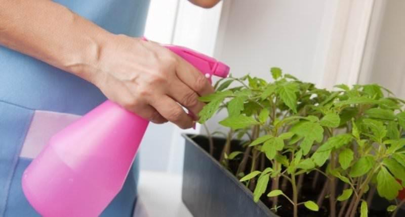 Тля на рассаде помидоров и способы борьбы с вредителем