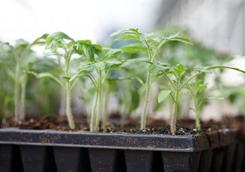 Сорт помидоров Примадонна: описание, правила выращивания