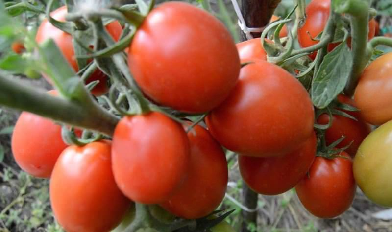 Характеристики томата Земляк: отзывы и фото