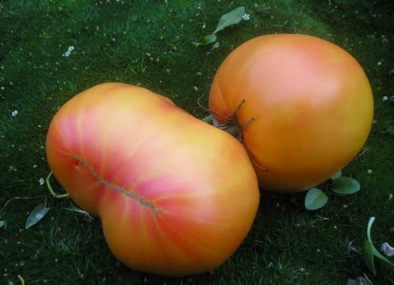 Характеристики и описание томата Загадка природы: отзывы и фото