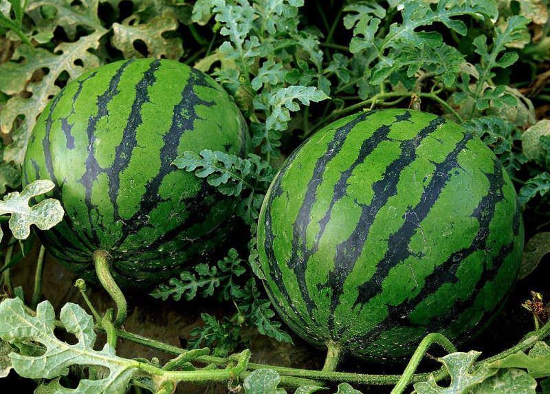 Правила выращивания арбузов в Сибири