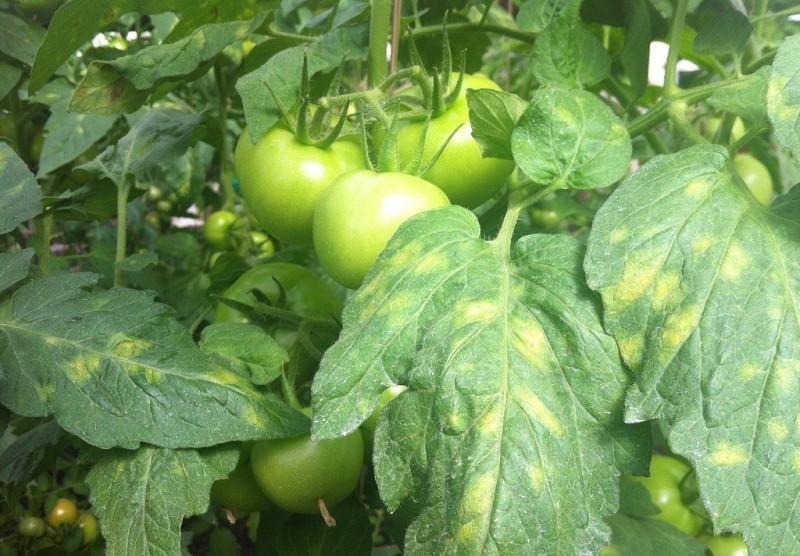 Причины появления белых пятен на листьях и стеблях помидоров
