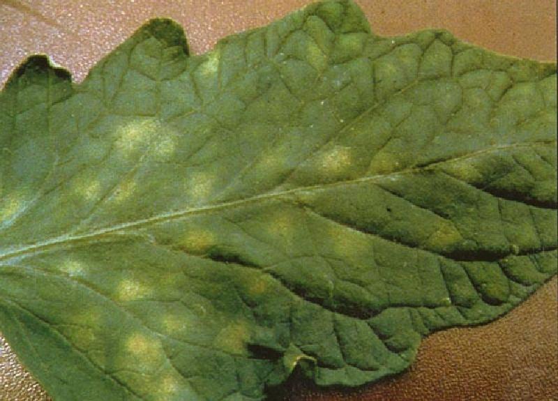 Почему появляются белые пятна на листьях и стеблях помидоров?