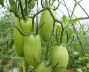 Процедура обработки томатов борной кислотой
