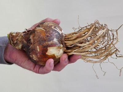 Секреты выращивания восхитительного амариллиса белладонна