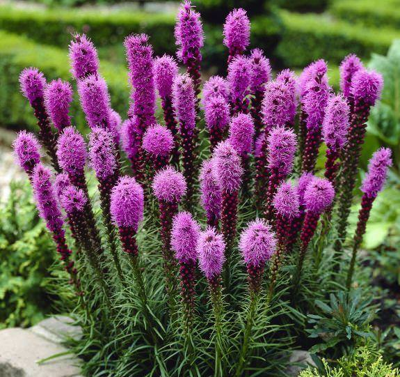 Удивительный лиатрис для украшения садового участка