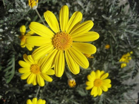 Арника горная: лечебные свойства и особенности применения лекарственного растения