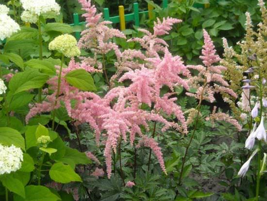 Самые распространенные виды астильбы и условия их выращивания