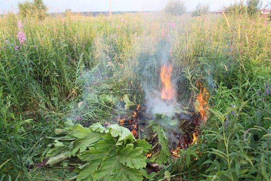 Борщевик: о пользе и вреде растения