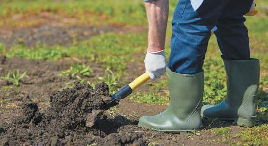 Особенности выращивания озимого и ярового чеснока