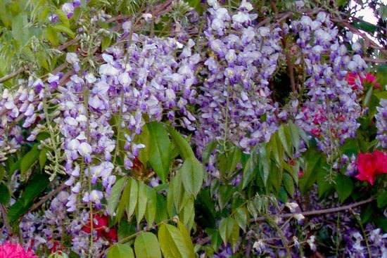Красочная глициния в саду и дома