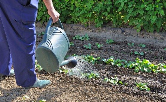 Выращивание декоративной капусты и ландшафтные декорации из нее