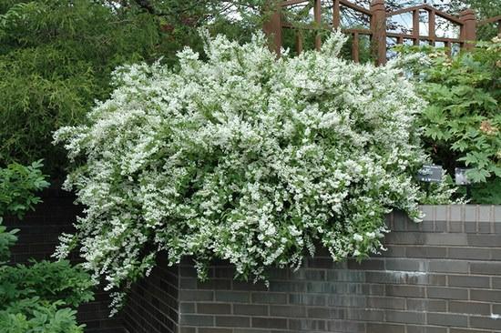 Великолепная дейция: как правильно вырастить восточную красавицу у себя в саду
