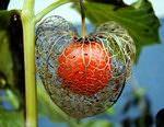 Физалис (55 фото): декоративный, ягодный, выращивание из семян, уход, название растения с оранжевыми ягодами в цветке