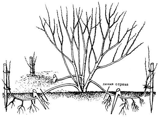 Форзиция: особенности посадки и ухода в открытом грунте