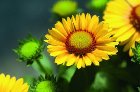Гайлардия: описание видов и особенности выращивания