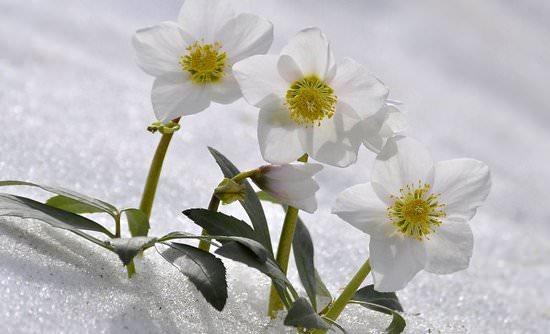 Морозник: особенности выращивания и характеристика видов