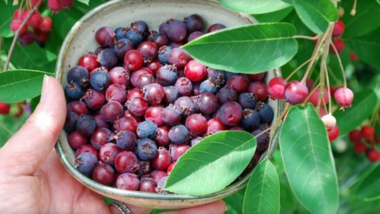 Ирга в вашем саду: полезные свойства, все о посадке и уходе