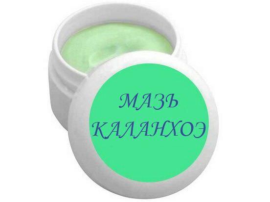 Каланхоэ перистый: особенности выращивания и применения в домашних условиях